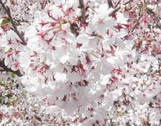 Cherry01_2