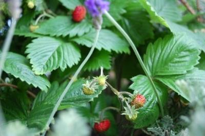 Wildstrawberry02