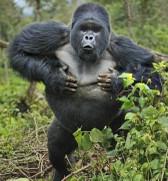 Gorilla20chest20beatingthumbnail2