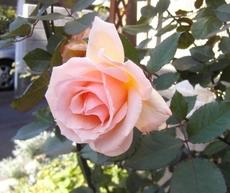 Rose071_1