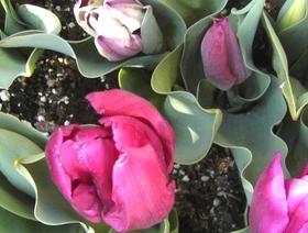 Tulip0318
